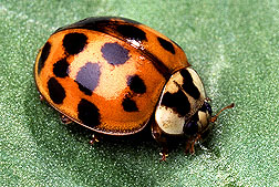 About Asian Beetles